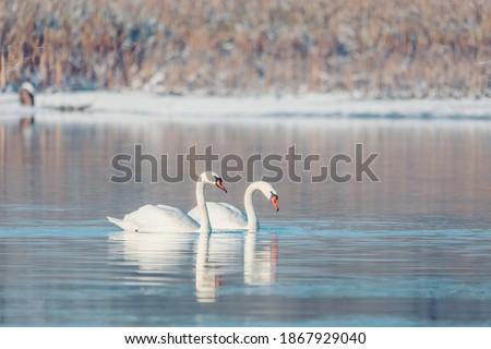 Wild bird mute swan (Cygnus olor) swim in winter on pond, Czech Republic Europe wildlife Royalty-Free Stock Photo #1867929040