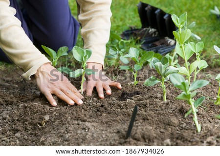 Woman planting out broad bean plants, growing vegetables in a garden, UK Royalty-Free Stock Photo #1867934026