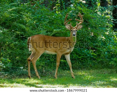 White tailed buck in a rural backyard Royalty-Free Stock Photo #1867999021