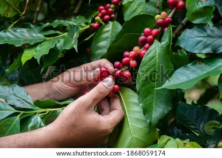 Hand farmer picking coffee bean in coffee process agriculture background, Coffee farmer picking ripe cherry beans, Fresh coffee bean in the basket, Close up of red berries beans. #1868059174