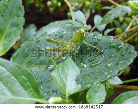 Grasshoppers are green and have four legs. The grasshoppers stands on a Bryophyllum pinnatum leaf which has a green color too. The picture was taken after the rain stopped.