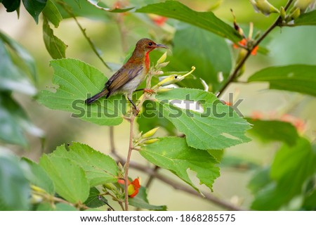 A juvenile crimson sunbird is perching on a small branch of East Indian screw tree. Royalty-Free Stock Photo #1868285575