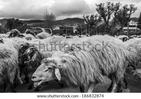 A herd of sheep walks along a rural road in Sicily #186832874