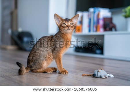 Abyssinian cat at home with her owner at home. Beautiful purebred short haired kitten. Royalty-Free Stock Photo #1868576005