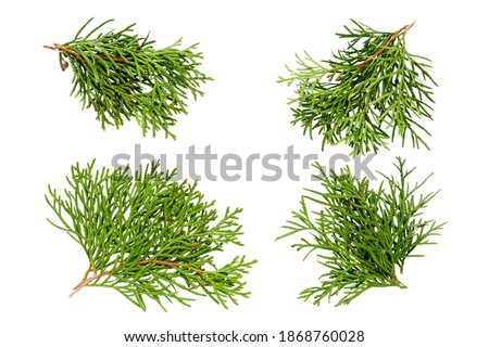 Set of thuja branches isolated on white background, top view. Cedar branch isolated on white background, flat lay. Isolated branches of cedar with leaves. Evergreen thuja, branch collection. Royalty-Free Stock Photo #1868760028