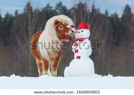 Funny miniature shetland breed pony trying to eat a snowman's carrot nose. Horse in winter.