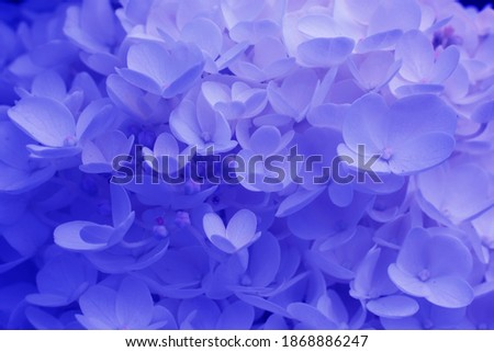 blue hydrangea flowers close up.Classical blue creative and moody toned picture.Dark concept.Blue pantone background, wallpaper,backdrop.Beautiful blossoming tender blue dewy hydrangea flowers texture