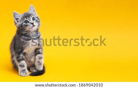 Small tabby kitten on yellow background with copy space. Gray cat isolated on color background with copy space. Kid animal with interested, question facial face expression Royalty-Free Stock Photo #1869042010