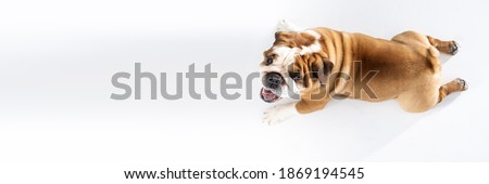 Top view as dog lies against white background. The English Bulldog is a purebred dog with a pedigree. The breed of dog belongs to the moloss group. Panoramic frame. Royalty-Free Stock Photo #1869194545