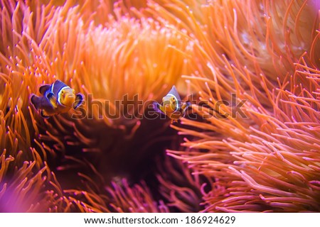 Coral Reef Clownfish Between Bubble Sea Anemone. Clownfish or Anemonefish. Coral Reef Life.