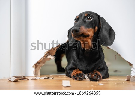 Naughty dachshund puppy was locked in room alone and chewed hole in door to get out. Poorly behaved pets spoil furniture and make mess in apartment Royalty-Free Stock Photo #1869264859