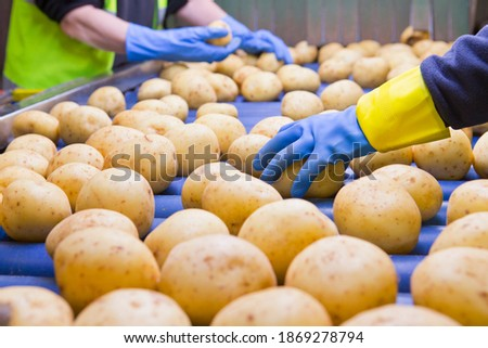 Close up of potatoes being inspected by quality control workers on the conveyor belt Royalty-Free Stock Photo #1869278794