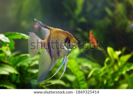 juvenile angelfish, artificial aqua trade breed of wild Pterophyllum scalare cichlid in beautiful coloration with orange eyes, popular ornamental fish from South America blackwater Royalty-Free Stock Photo #1869325414