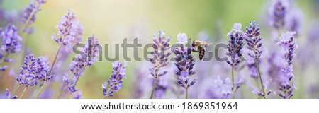 Honey bee pollinates lavender flowers. Plant decay with insects., sunny lavender. Lavender flowers in field. Soft focus, Close-up macro image wit blurred background. Royalty-Free Stock Photo #1869351964