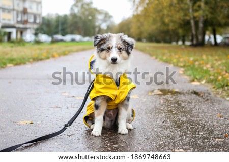 Small sheltie puppy sitting on pedestrian path with yellow rain coat jacket. Photo taken on a cloudy autumn day. Royalty-Free Stock Photo #1869748663