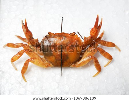 Freshwater river crab Potamon sp. pinned for collection, isolated on white background. Italy. Wildlife, biology, zoology, carcinology, science, education, museum, university, environmental damage Royalty-Free Stock Photo #1869886189