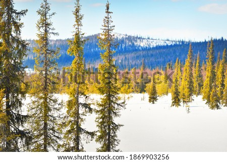 Young pine trees and a frozen lake after a blizzard on a clear day. Mountain peaks in the background. Idyllic winter landscape. Ecology, environment, climate change, global warming. Finland, Lapland