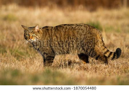 Fluffy european wildcat, wildcat, felis silvestris, walking and hunting on the grassland. Alert beast of prey in the wilderness. Striped cat grazing the dry meadow in autumn sunlight. Royalty-Free Stock Photo #1870054480