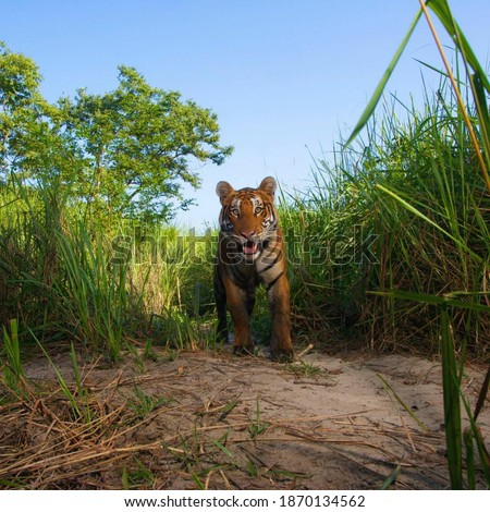 This is a picture of a tiger running in the grass