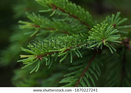 Green prickly branches of a fur-tree or pine. Fluffy fir tree branch close up. background blur Royalty-Free Stock Photo #1870227241