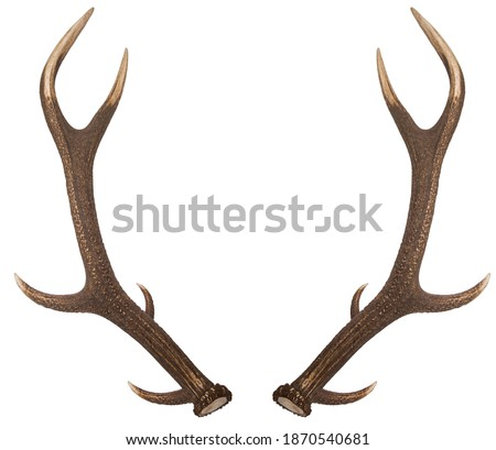 Pair of red deer antlers on a white background. Deer antlers. Isolatedon white background.  Royalty-Free Stock Photo #1870540681