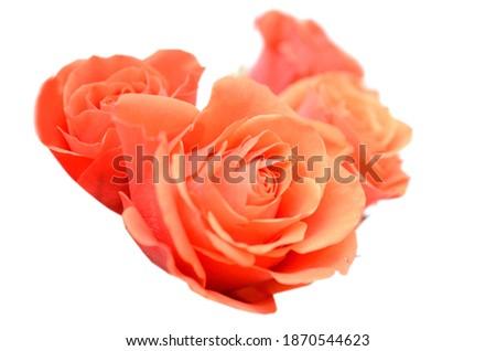 Red orange rose isolated on white background