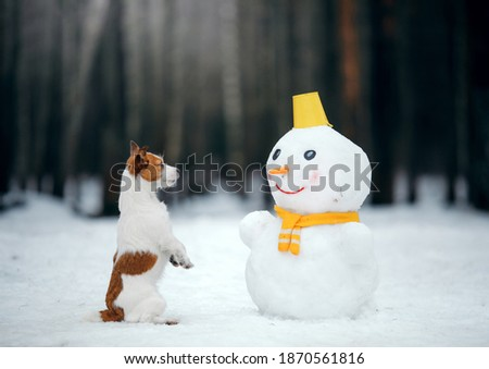 dog in snowy winter makes a snowman. Jack Russell Terrier in a scarf. Pet in nature Royalty-Free Stock Photo #1870561816