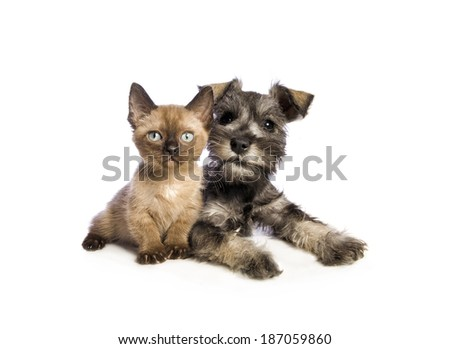Adorable Miniature Schnauzer puppy lying down with cute Munchkin kitten isolated on white background #187059860