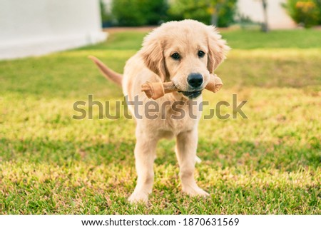 Beautiful and cute golden retriever puppy dog having fun at the park sitting on the green grass. Lovely labrador purebred eating bone Royalty-Free Stock Photo #1870631569