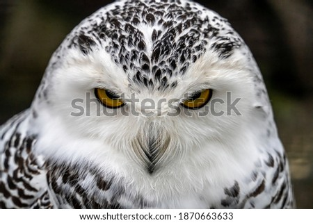Snowy owl (Bubo scandiacus), also known as polar owl, white owl and Arctic owl. A threatened species native to the Arctic regions Royalty-Free Stock Photo #1870663633