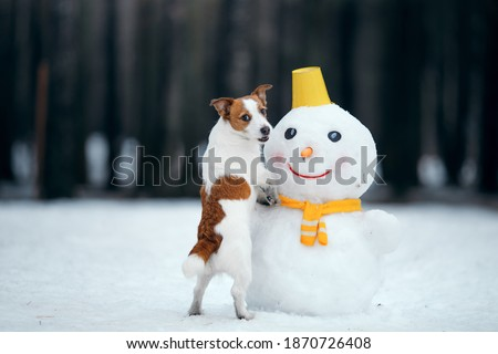 dog in snowy winter makes a snowman. Jack Russell Terrier in a scarf. Pet in nature Royalty-Free Stock Photo #1870726408