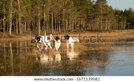 Majestic group of giant Landseers having fun in the swamp. Bog lake is frozen and covered with thick ice where big white and black dogs can glide in golden sundown light. Royalty-Free Stock Photo #1871139082