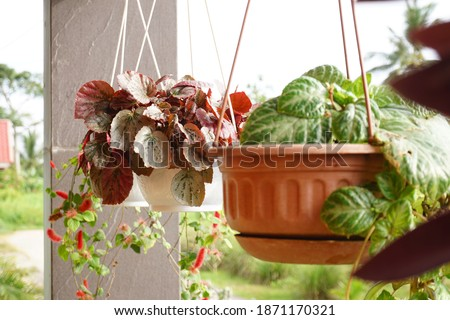 Blurry hanging ornamental flowers (Tanaman gantung) in the outdoor terrace with shiny white nature background Royalty-Free Stock Photo #1871170321