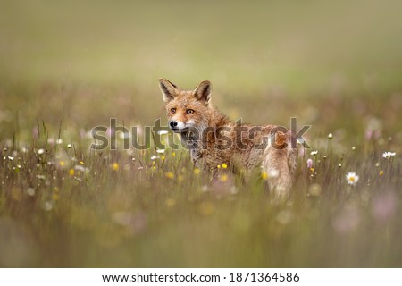 Red fox on flowers covered meadow during grey rainy day. The wet animal among flowers and grass. is the largest of the true foxes and one of the most widely distributed members of the order Carnivora. #1871364586