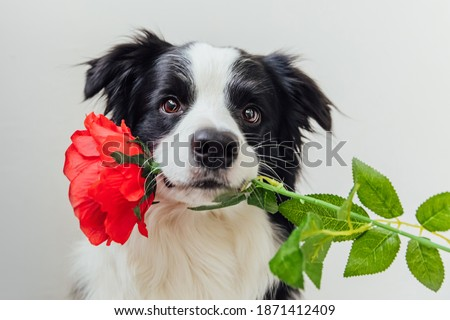 St. Valentine's Day concept. Funny portrait cute puppy dog border collie holding red rose flower in mouth isolated on white background. Lovely dog in love on valentines day gives gift Royalty-Free Stock Photo #1871412409