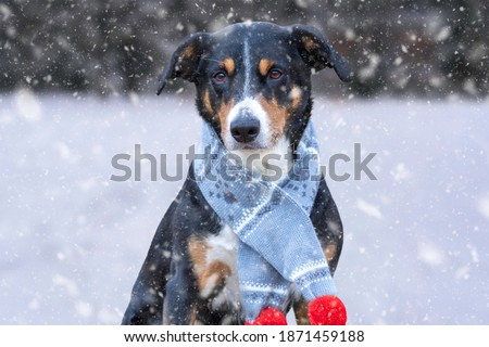 Happy appenzeller dog with blue scarf in the snow on a winter day
