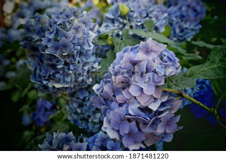 This hydrangea blooms deep blue or vivid pink depending on the acidity of the soil.Purple japanese flower