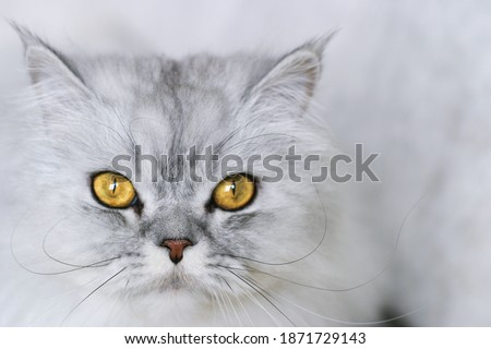 Portrait of a gray Scottish Fold cat with yellow eyes. Illuminating and ultimate grey. Color of the year 2021