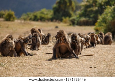 Monkeys are sitting on dry ground in their flocks and are wary of attackers