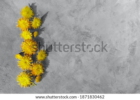 Yellow chrysanthemums on a gray background. Natural design in trendy 2021 illuminating and ultimate gray colors. Horizontal composition with shadows. Floral minimalism. Flat layout. Copy space