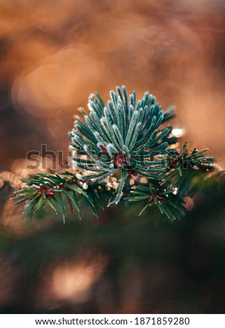 Macro of a frosty fir tree branch. Shallow depth of field and sunshine bokeh bubbles in the background