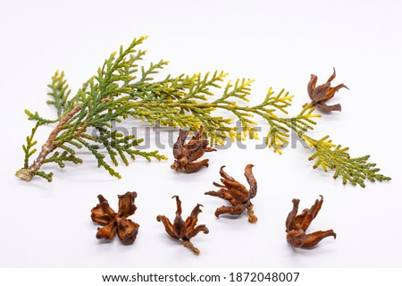Thuja branch. Thuja seeds. Coniferous tree twig in autumn. White background. Coniferous cones. Close-up. A twig with pine needles aroma. Aroma therapy Royalty-Free Stock Photo #1872048007
