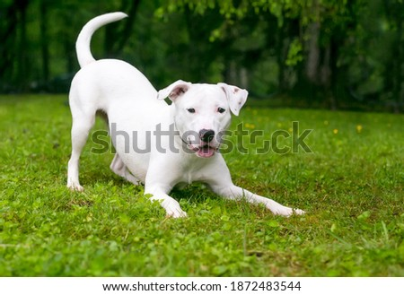 A playful white Retriever x Terrier mixed breed dog in a play bow position Royalty-Free Stock Photo #1872483544