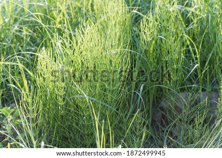 Equisetum arvense, field horsetail or common horsetail in meadow in afternoon in sunny day. Collecting medicinal plants and herbs #1872499945