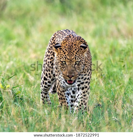 This is a picture of a male leopard