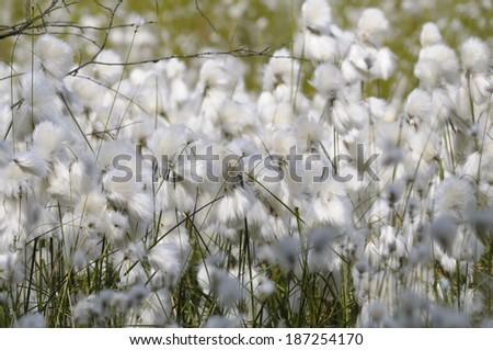 cotton grass, Eriophorum in moor #187254170