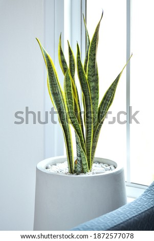 Picture of Snake Plant, a tree that adorns the house Can be planted inside dwellings With the feature of purifying the air Even at night Can be placed in the living room or bedroom Royalty-Free Stock Photo #1872577078