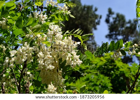 Blossoming acacia (Robinia pseudoacacia). Spring white flowers on a tree branch. Acacia tree in bloom. Acacia flowers branch with a green background #1873205956