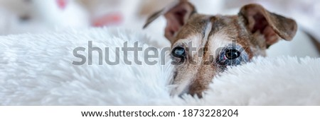 Cute dog with brown head lying on bed with white fluffy blanket. Concept animal allergy. Royalty-Free Stock Photo #1873228204