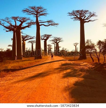 Baobab trees Avenue Madagascar Africa.  Spectacular red dirt road to Baobab Alley with majestic huge trees.  Unique endemic African tree iconic baobab Adansonia grandidieri. Sundown in Morondava. Royalty-Free Stock Photo #1873423834